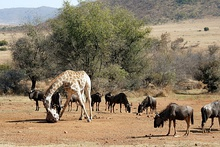 Giraffe and wildebeest at an artificial salt lick in the Pilanesberg Game Reserve, South Africa