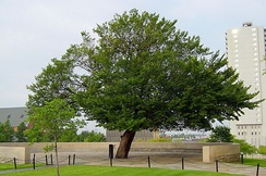 The Survivor Tree on the grounds of the Oklahoma City National Memorial