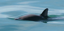 The vaquita, the world's most endangered marine mammal, has been reduced to only 30 individuals as of February 2017. They are often killed by commercial fishing nets.[183] As of March 2019, only 10 remain, according to The International Committee for the Recovery of the Vaquita.[184]