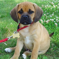 A Puggle, a beagle/pug cross, shows traits from both breeds.
