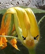 Male Cucurbita flower