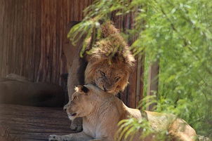Possible descendants of the Barbary lion at Rabat Zoo near the city