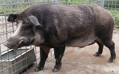 Male, domestic pig–wild boar cross