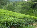Tea-sri-lanka.jpg