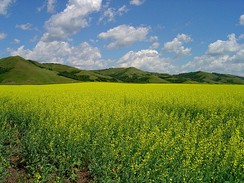 A canola field in the Qu'Appelle Valley in Southern Saskatchewan.