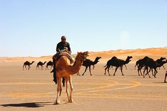 A caravan crossing the ad-Dahna Desert in central Saudi Arabia.