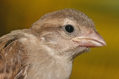 The gape flange on this juvenile house sparrow is the yellowish region at the base of the beak.
