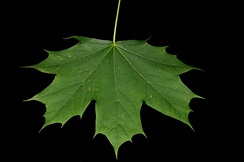 A maple (Acer platanoides) leaf has palmate venation, as its veins radiate out from a central point, like fingers from the palm of a hand.
