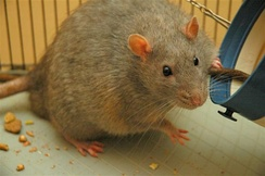 A laboratory rat strain, known as a Zucker rat, bred to be genetically prone to diabetes, a metabolic disorder also found among humans.