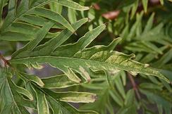 Глубокорассечённые листья сорта Sambucus racemosa 'Sutherland Gold'