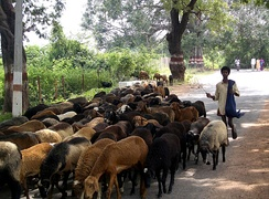 A boy herding a flock of sheep in India