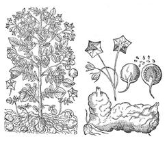 Рисунки картофеля из книги Каспара Баугина «Theatri botanici»