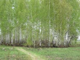 Берёзовые рощи— одно из излюбленных мест обитания тетеревов