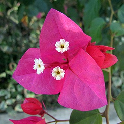 The large, colourful bracts of Bougainvillea are commonly mistaken for its petals.