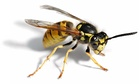 wasp facing right