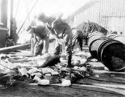 Fishermen dressing and packing halibut at a dock in Ketchikan, October 1910