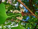 Гинкго двулопастный (билоба) - декоративное лекарственное плодовое дерево