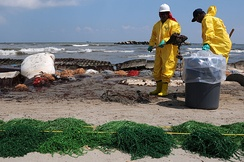 Workers contracted by BP clean up oil on a beach in Port Fourchon, Louisiana, 23 May 2010