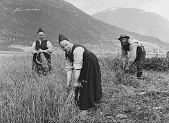 Harvesting of oats in Jølster, c. 1890