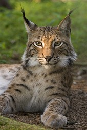 The Eurasian lynx and the Šarplaninec