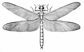 The late Carboniferous giant dragonfly-like insect Meganeura grew to wingspans of 75 cm (2 ft 6 in).