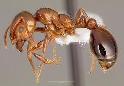 Рабочий Solenopsis invicta