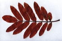 Sorbus aucuparia leaf fall colour.jpg