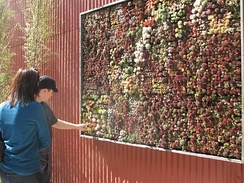 "Succulent ""wall"" in a nursery in San Francisco, United States consisting of Sempervivum, Echeveria and Crassula."