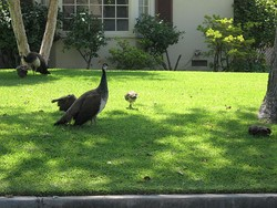 Peafowl, a symbol of Arcadia, walking on a lawn in Arcadia