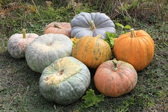 C. pepo pumpkins – the two bright orange ones in center right, and squashes C. maxima, all others
