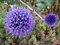 Echinops ritro (compound capitulum)