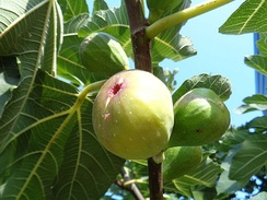 Figs in various stages of ripening