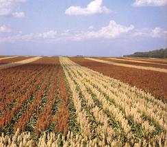 Ферма с традиционной и гибридной разновидностью сорго