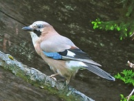 Eurasian jay is constantly alert for predators, warning of their presence with loud alarm calls.