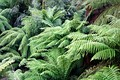 Tree ferns, probably Dicksonia antarctica