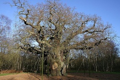 Major Oak in Sherwood Forest; a traditional landmark of the north-east Midlands.