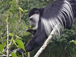 Leaf eating mantled guereza, a species of black-and-white colobus
