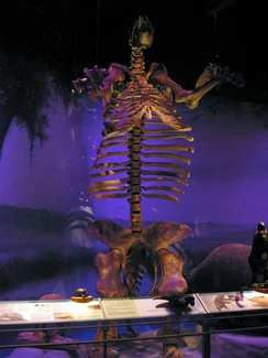 A giant ground sloth skeleton from the Florida Fossil Hall.