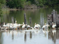 American White Pelicans loaf near shore, Hecla-Grindstone Provincial Park