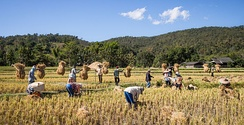 After the harvest, rice straw is gathered in the traditional way from small paddy fields in Mae Wang District, Chiang Mai Province, Thailand