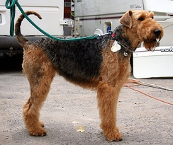 After the First World War, the Airedales' popularity rapidly increased thanks to stories of their bravery on the battlefield