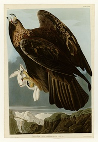 Plate 181 of The Birds of America by Audubon depicting a golden eagle, 1833–34