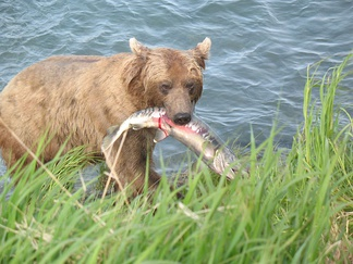 A bear with a salmon. Interspecific interactions such as predation are a key aspect of community ecology.