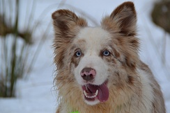 Red merle Border Collie. Female.