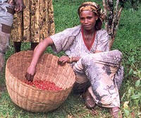 Ethiopian woman gathering coffee beans in a basket