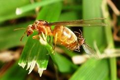 Брачный полёт муравьёв