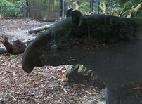 The nose of a tapir.
