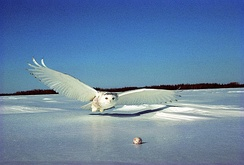Snowy owl, the official bird of Quebec