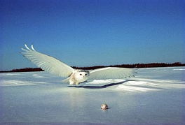 Snowy owl: official bird of Quebec