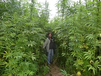 A hemp maze in France